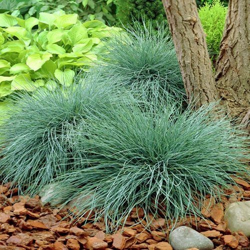 Blue fescue ornamental grass seeds festuca cinerea glauca for Low growing perennial grasses