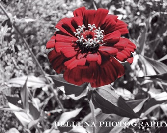Red tinted Zinnia on black and white foliage