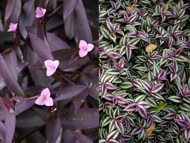 2 types pretty purple wandering jew indoor outdoor house for Easy to care for outdoor flowering plants