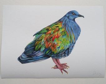 Nicobar Pigeon Illustration Giclee Print, A4