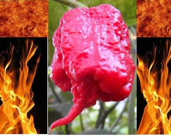 10 Carolina Reaper seeds HP22B Worlds Hottest pepper Guinness world records EXTREME HEAT!!