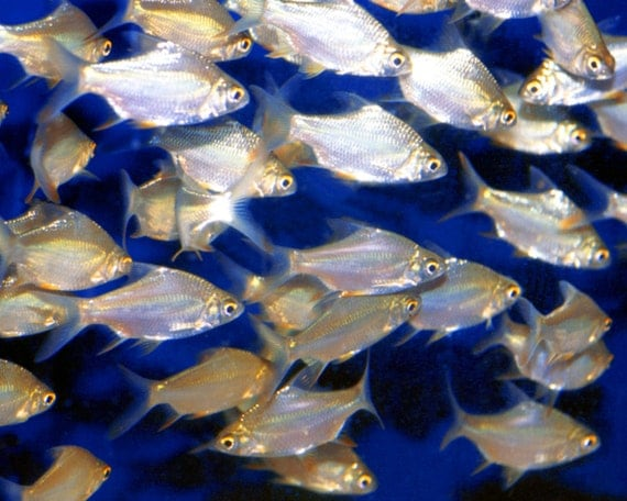 School Of Shiny Silver Fish Swimming In By Artistwiththecamera
