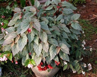 Angel Wing Begonia Sinbad