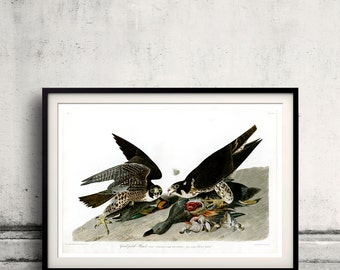 Great-footed Hawk Plate 16 of Birds of America  Fine Art Giclée Poster Digital Wall art Illustration Print Decorative- SKU 0152
