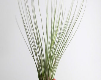 Airplants (Tillandsia)