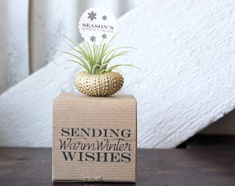 seasons greetings // air plant sea urchins // by robincharlotte
