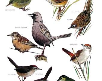 Vintage Bird Print - Gray Longbill, Little Marshbird, Brown Songlark, Green Hylia, Spinifexbird, Fernbird - 1990 Vintage Book Page - 11 x 9