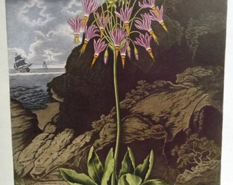 Shooting Star 'American Cowslip' Botanical Illustration - Pink Yellow Blooming Flower Painting - 19th Century England Floral Art Print