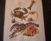 Crabs and Their Relatives - - vibrant color lithograph - 1904 - Science - Naturalist available matted for 8 by 10 frame