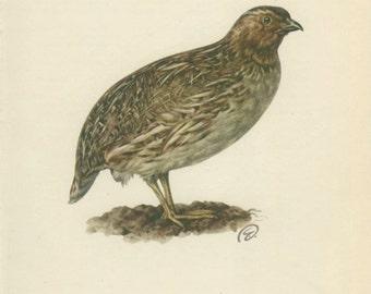 Quail, Vintage Bird Print, 8 x 10, Ornithology 37, 1962, Demartini, Hunting Decor, Rustic Cabin Decor, Library Office Decor