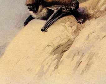 1960 mini whiskered bat original vintage lithograph print - matted crop from a larger print