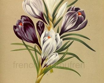 antique victorian botanical print,digital purple crocus iris illustration DIGITAL DOWNLOAD