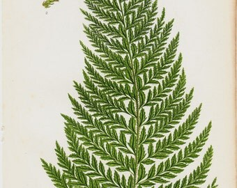 1850 Antique FERN print, chromolithograph of common prickly fern. Original antique botanical print