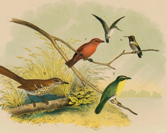1881 antique BIRDS of NORTH AMERICA, small songbirds of field and river, 131 years old gorgeous largue print.