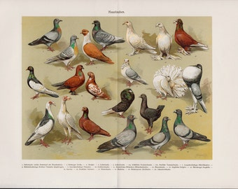 1900 Beautiful HOME PIGEONS lithograph, DOVES, white dove, red dove, farm dove, colorful antique fine Chromolithograph print
