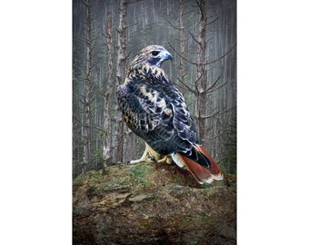 Red Tail Hawk perched on a Rock in the Forest No.158 A Fine Art Nature Bird Photograph