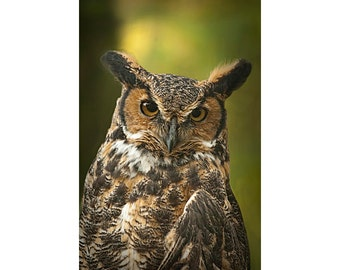 Great Horned Owl Portrait taken in West Michigan No.287 - A Fine Art Bird Nature Photograph