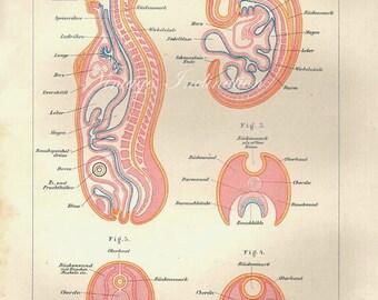 rare 1894 Human Anatomy Print, fetus, organs, blood skeleton bones