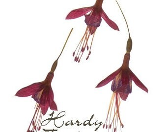 Real Pressed Flowers Red Hardy Fuchsia