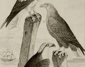 1835 Antique print of FALCONS. HAWKS. Falcon. Hawk. 181 years old rare Buffon copper engraving