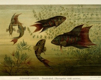 1894 Antique print of PARADISE FISHES, Sea life, Paradise Gouramis. 120 years old fine lithograph