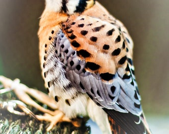 Hawk American Kestrel Bird Nature - Fine Art Photograph Print PIcture