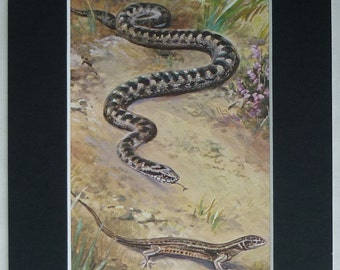 1950s Vintage Natural History Print of a Viper Snake and a Common Lizard British reptile decor, retro wildlife art - Woodland Nature Gift