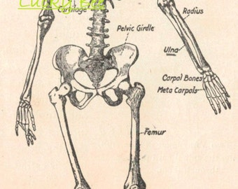 Digital scan of an anatomy sketch of the human skeleton found in 1906 Elementary Physiology and Hygiene