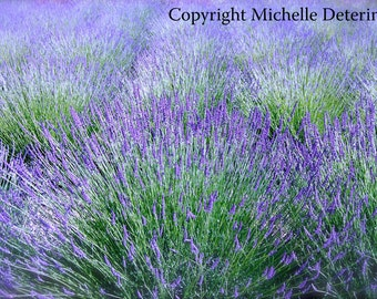 French Lavender Field - Digital Photography - Botanical Photography, Lavender Art, Lavender Photography, Lavender Field Art, Purple Flowers