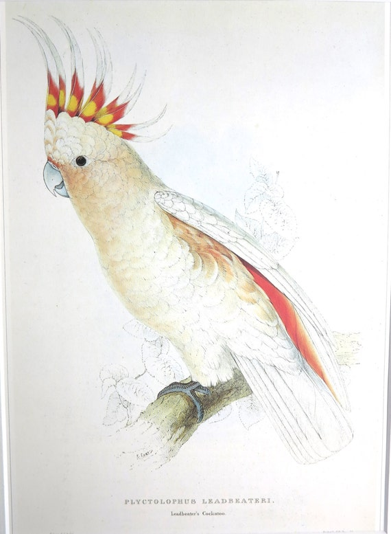 Large vintage bird print of Major Mitchell's Cockatoo by Edward Lear, pink and red feathered Australian bird, nice details, matted, 11 x 14