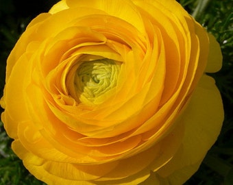 Yellow Persian Buttercup - 12 Bulbs 6/7cm - Ranunculus Telecote - Hardy