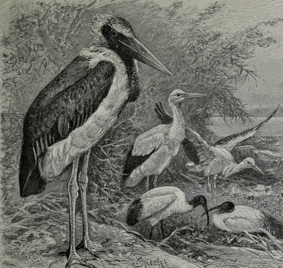 Web-footed birds print.Marabou,Stork,Ibis ad Crane.Old book plate,1890 .Antique illustration.124 years lithograph.9'6 x 6'2 inches.