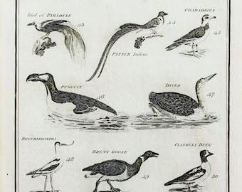 1788 Antique Bird Print , Copper Plate Engraving. Penguin, Owl