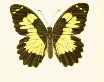 VINTAGE BUTTERFLY PRINT The Euchenor Butterfly 1960's Vintage Print - Perfect Gift for Wedding, Birthday, Graduation, Christmas (bb28)