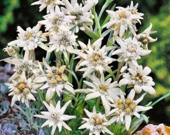 Edelweiss Flower Seeds (Leontopodium Alpinum) 100+Seeds
