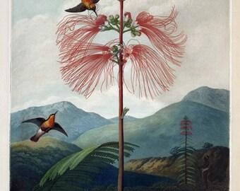 antique english botanical print mimosa pudica sensitive plant touch me not illustration DIGITAL DOWNLOAD