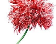 Oriental Poppy II - Large fine art botanical print, 11 x 16 or 13 x 19inch, watercolour print,, red poppy poppy print