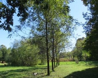 Walnut Tree Photo, Tree Photos, Outdoor Photos, Country Photography