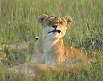 Winking Lioness