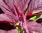 Red Garnet Amaranth Heirloom Seeds - Non-GMO, Open Pollinated, Untreated