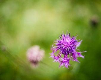 Purple Flower photo in a contrasting green meadow