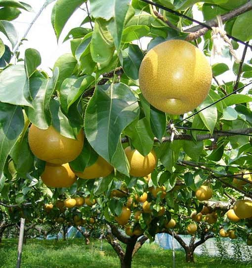 how to grow asian pear tree from seed
