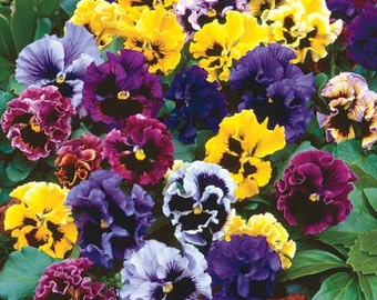 50 Seeds Pansy Frizzle Sizzle Mix