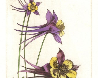 Columbine. Etching and watercolor. Original hand pulled print. Botanical print.