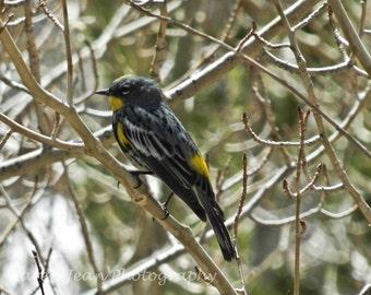 Meadowlark in birch tree