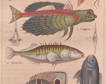 1839 original print - Poissons (fish) - hand colored antique print, natural history - grouper flying gurnard stickleback seabream chaetodon