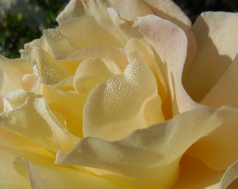 Yellow rose with morning dew, flower photo, rose photo, macro photo