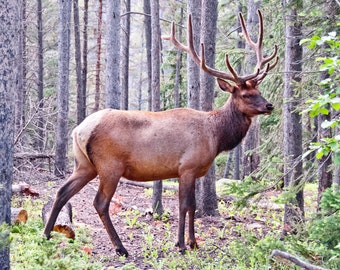 Neil Reichline Photo, Elk in the Woods