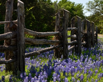 Fine Art Photography | Texas Bluebonnets | Country Photography | Photo Print | Rustic Art | Bluebonnets | Texas | Wall Decor