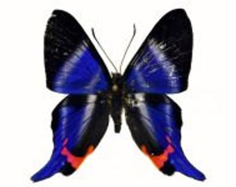 Rhetus periander, Real Butterfly, Ready for your project